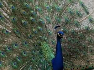 Jules peacock photo